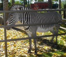 Stripes behind bars by MaguschildCloud