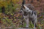 wolf pup 2 by purple007