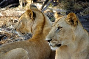Lions Brothers by CunisiaInc