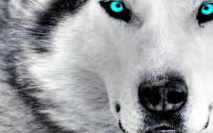 Wolf Blue eyes by JumpinWombango