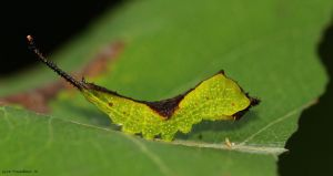Black-etched Prominent Moth  caterpillar 2 by natureguy