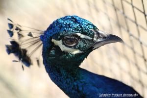Blue Peacock profile by MorganeS-Photographe