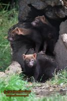 110810 Bush Dogs 3 by InsaneGelfling