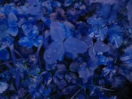 Blue clover by DenyG