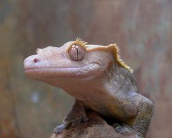 Crested Gecko close up by ShadowKorin-Photos