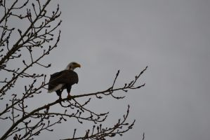 Bald Eagle - 1 by Silver-Stock-Images