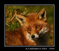 Foxy II by andy-j-s