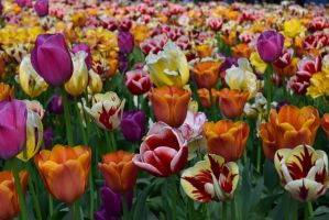 tulips by laimonas171
