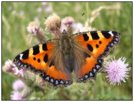 Small Tortoiseshell Butterfly by stevesm
