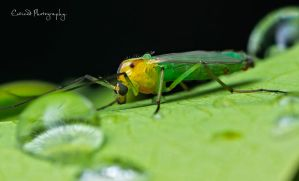 ~ Vegetarian Mosquito by Enticedphotos