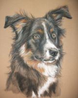 Border collie portrait by Jniq