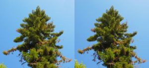 Stereograph - Tall Tree by alanbecker