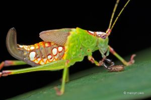 Katydid with hitchhiker Pseudoscorpion by melvynyeo