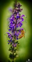 The Bee and the Purple Flower HDR by mjohanson