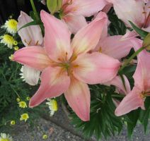 Light Pink Lilly 2 by GreenEyezz-stock