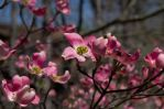 2014-04-20 Spring Dogwood 04 by skydancer-stock