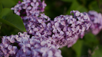 Lilac Bloom 2014 by nemesis158