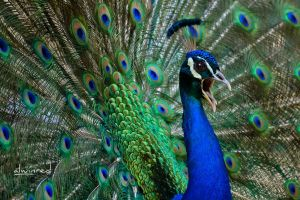 Peacock Beauty and Wonders of Nature by alwinred