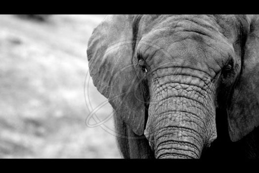 African elephant by InsaneGelfling