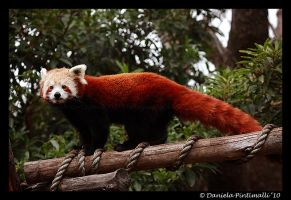 Red Panda V by TVD-Photography