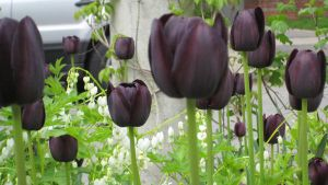 Black Tulips by willconquers-stock