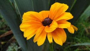 RUDBECKIA 1 by BELLESYMPHORINE