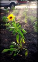 Yellow Flower's Morning Shower by EpicPseudonym