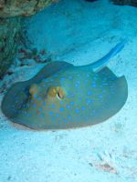 Blue spotted Stingray by Cicciobello-BoBo