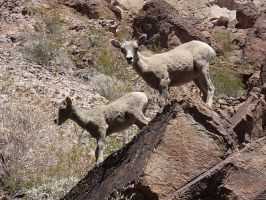 Two Big Horn Sheep Babies by ClymberPaddler