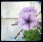 Petunia TTV by angelandspot