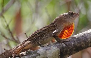Brown Anole by FallOut99