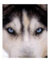 look in the husky's eyes by AngeliLPS