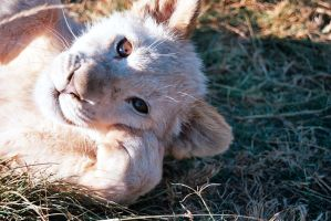 White Lion Cub by Susanvj