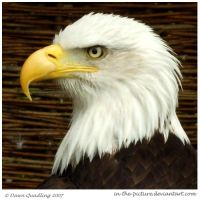 Bald Eagle I by In-the-picture