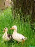 Blond Ducklings by IamNasher