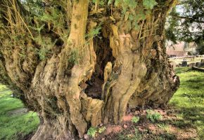 The Old Chapel, Penallt - Yew by Oldtoppy