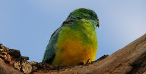 Red - Rumped Parrot by DPasschier