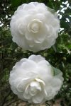 White camellia Japonica by Lissou-photography