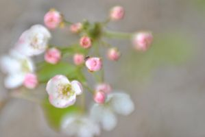 Apple Blossom 4 by LaFemmeDelaisse