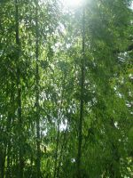 Sunlit Bamboo by BaronOfTheWillows