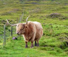 Highland Cattle 03 by cemacStock