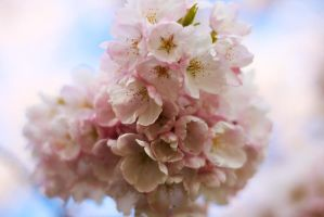 Cherry Blossoms 2 by esoup13