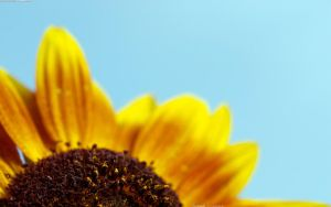 Second Sunflower 2560x1600 by hermik
