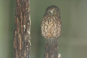 morepork nz native owl by hamptonboss
