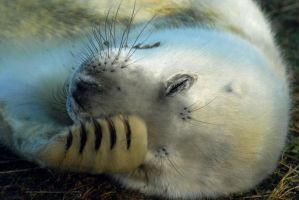 Sleepy seal pup by Shadow-and-Flame-86