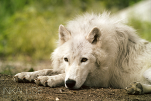 Resting wolf by Inkalude