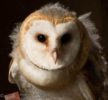 Young Barn Owl 2 by corvus2606