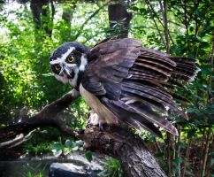PZ Angry Spectacled Owl by OrangeRoom