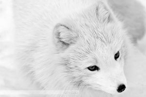 Arctic Fox Portrait 1 by JennyTangen