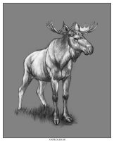 Moose by oxpecker